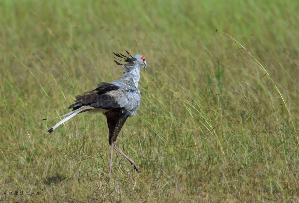 Secretary Bird - Masai Mara - طائر الكاتب