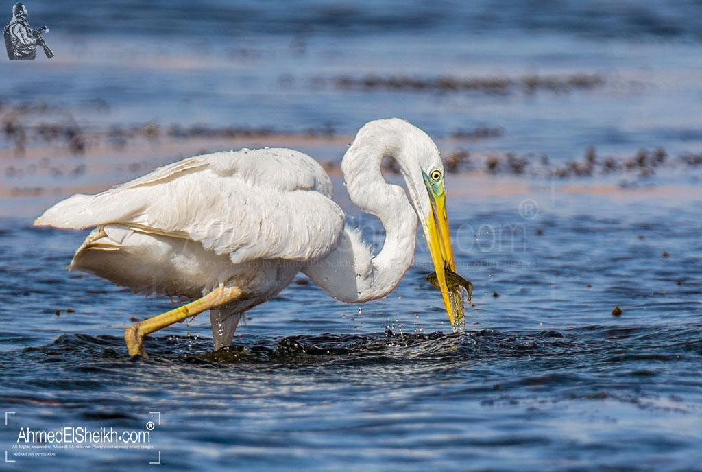 Great White Egret -البلشون الأبيض الكبير