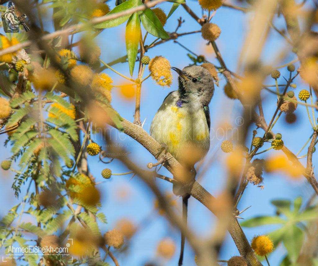 Nile Valley SunBird Camouflaged
