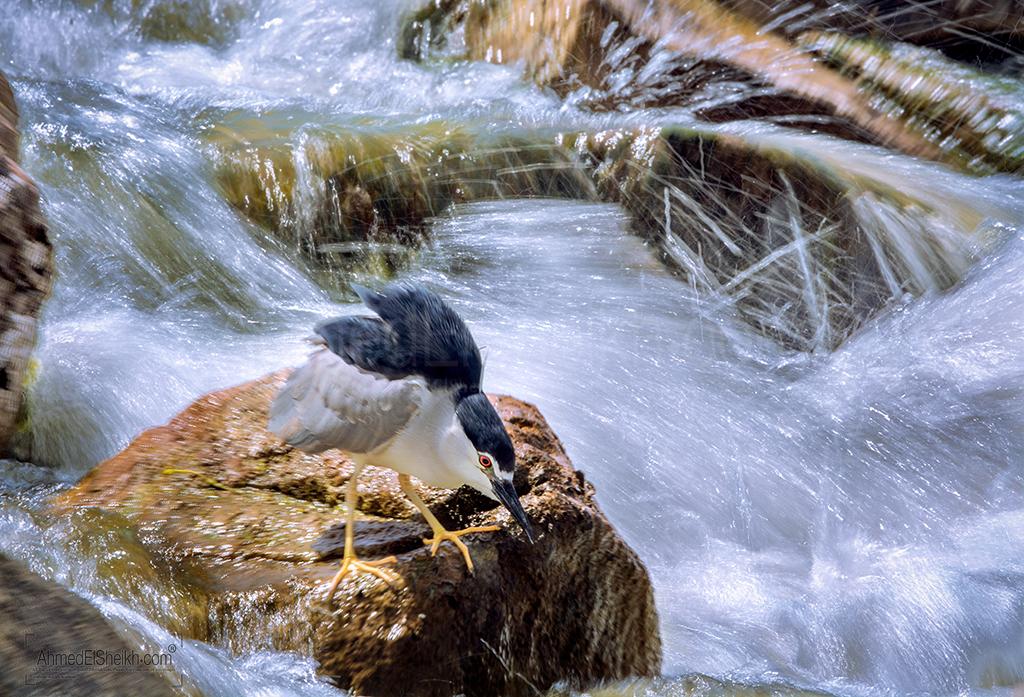 black-crownd-night-heron-Adult بلشون الليل ناضج