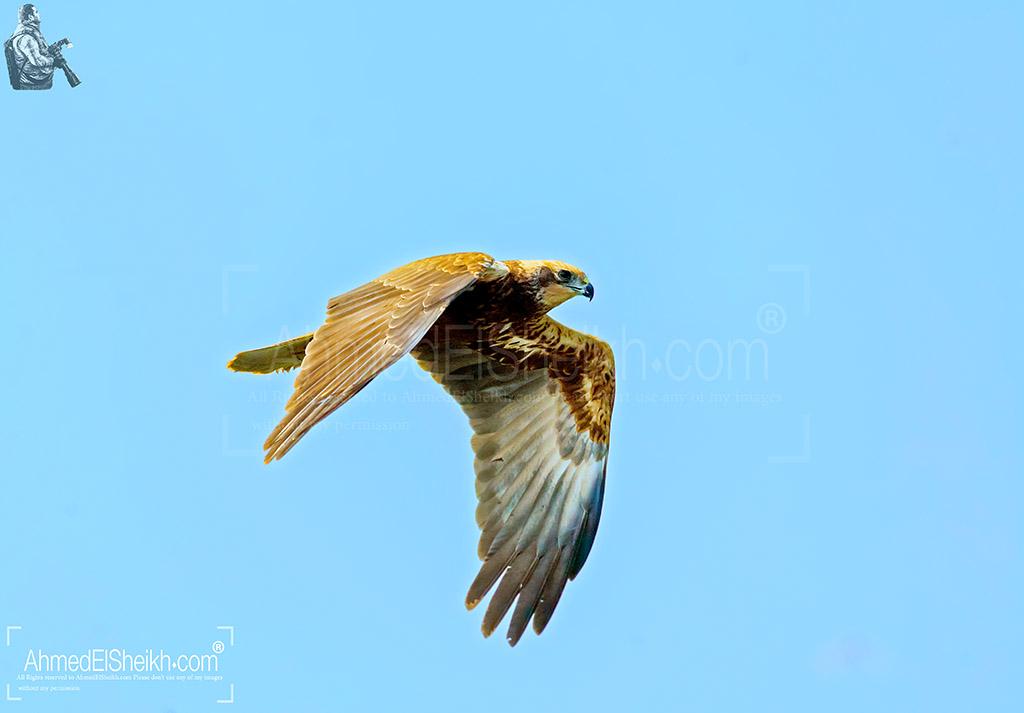 Marsh Harrier مرزة المستنقعات