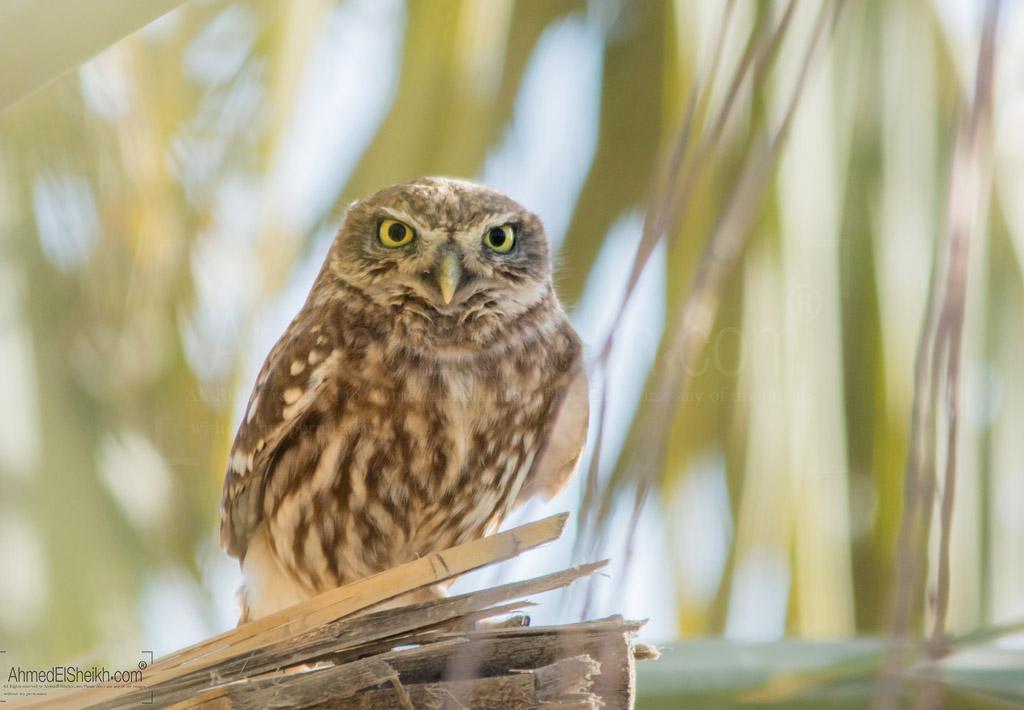 Little Owl بومة آم قويق -