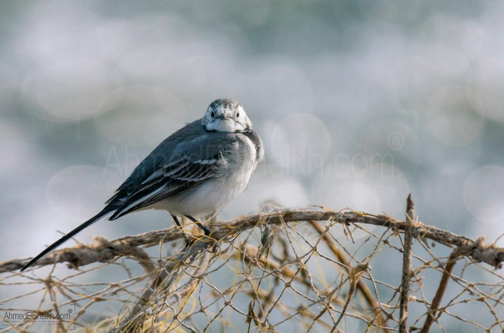 Whitewagtail آبو فصادة الآبيض