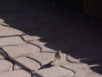 Vogel auf dem Berg Teide