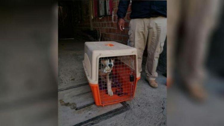 Can de raza husky, rescatado del maltrato. Foto: Pofoma