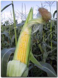Aumento de la soja y el maíz