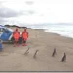 NECOCHEA: Cinco pingüinos volvieron a su habitad natural