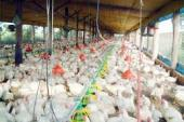 Productores agropecuarios preocupados por  situacion de sector avicola