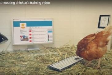 Una gallina que escribe tuits ya tiene 36 mil seguidores