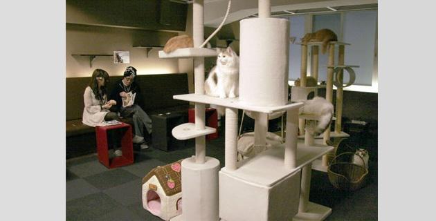 Cafeterías de gatos en Japón amplía horario de estadía para los felinos