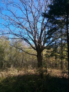 Wolf tree maple.