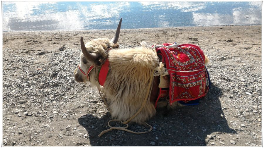 A yak sits contentedly on the banks of Pangong Tso
