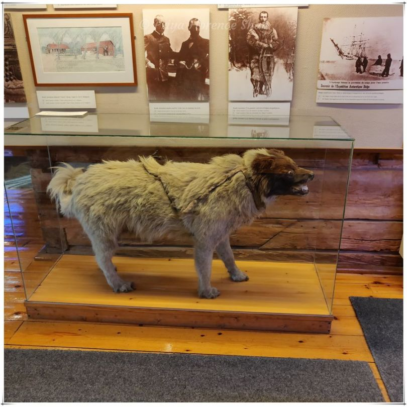 Roald Amundsen's dog