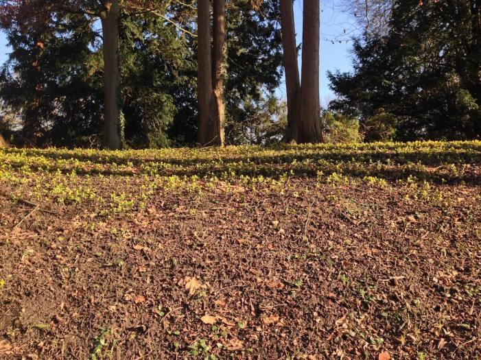Winterlinge im Schlosspark – Foto: Mia