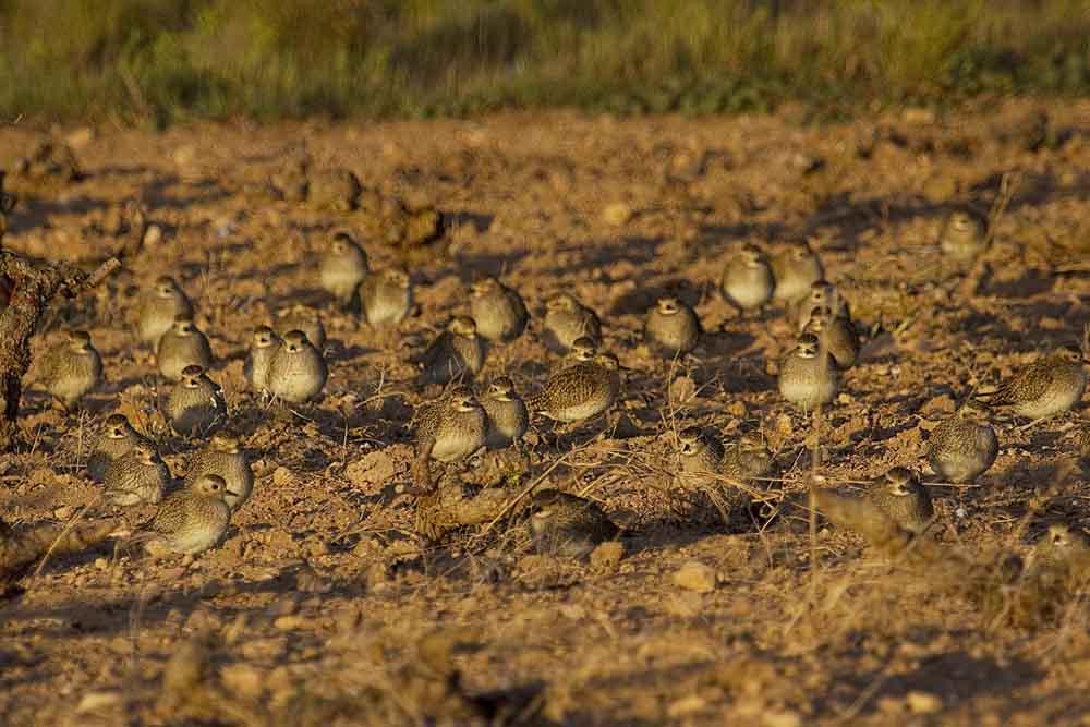 Chorlitos dorados entre los viñedos de La Mata (S. Arroyo)