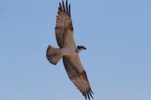 Águila pescadora en la gola del río Segura