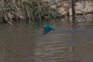 Martín pescador en el río Segura (S. Arroyo)