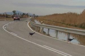 Calamones cruzando la carretera de Vistabella (S. Arroyo)