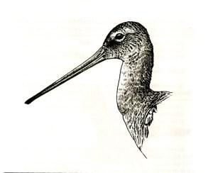 Ilustración de una aguja colinegra (L. Sogorb)