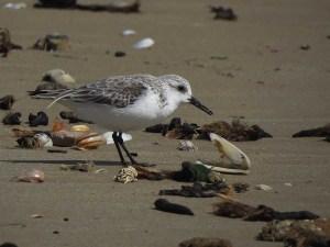 Correlimos tridáctilo en la playa de los Tosales (S. Arroyo)