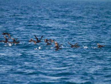Balsa de pardelas baleares levantando el vuelo