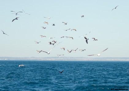 Pagalo grande (abajo) y todo el resto del mundo de las gaviotas (arriba)
