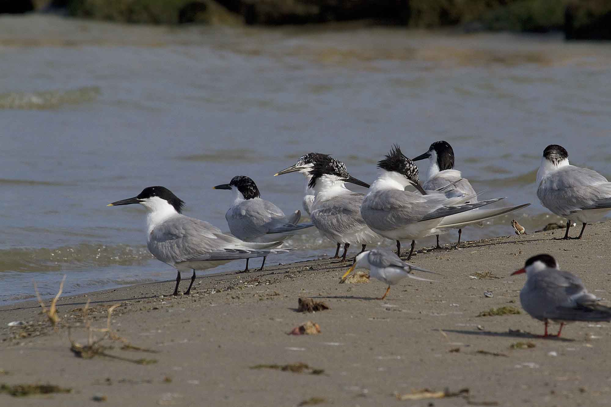Charranes patinegros en la desembocadura del río Segura (S. Arroyo)