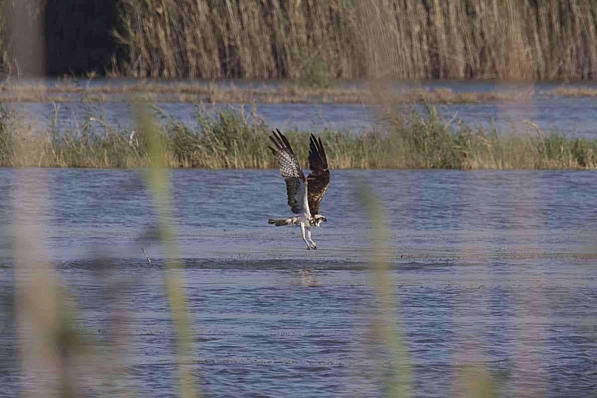 Águila pescadora en las salinas de Santa Pola (S. Arroyo)
