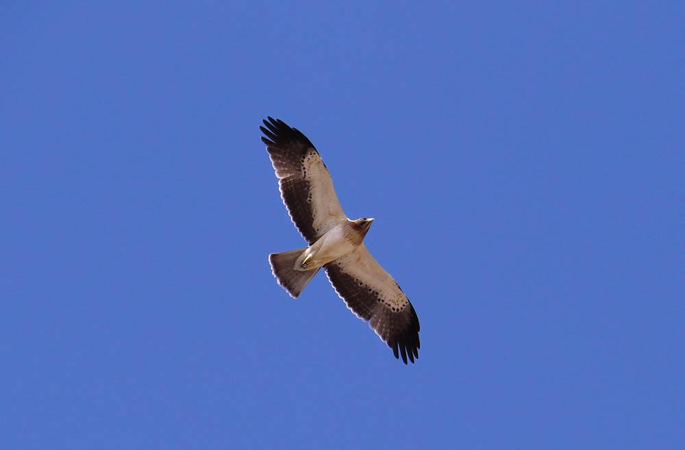 Águila calzada en El Hondo (J. Ramos)
