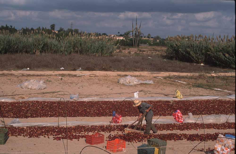 El secado de ñoras, una actividad tradicional en los terrenos del MR10