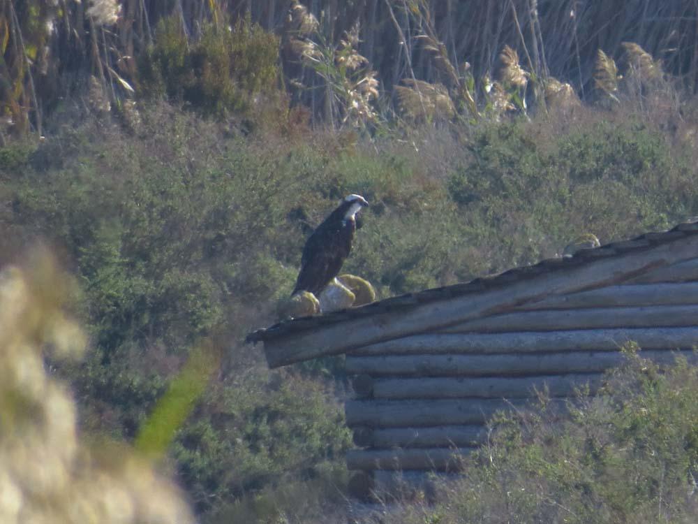 Águila pescadora posada en el observatorio de la charca de la Manzanilla (O. Aldeguer)