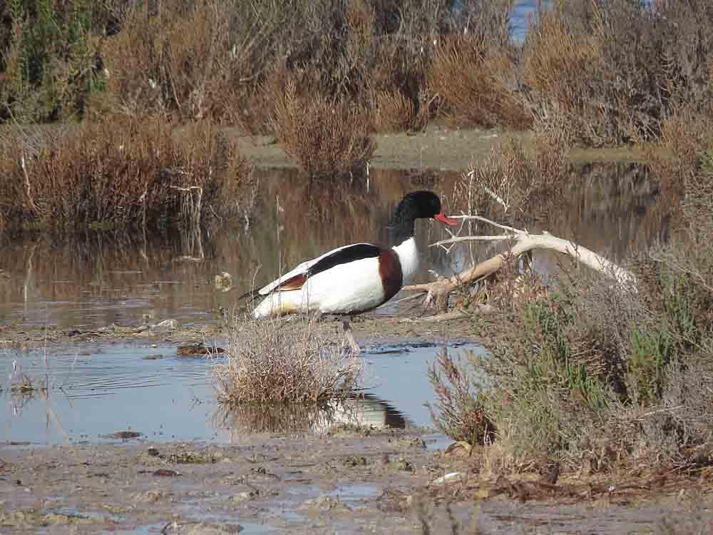Tarro blanco en la laguna de La Mata (S. Arroyo)