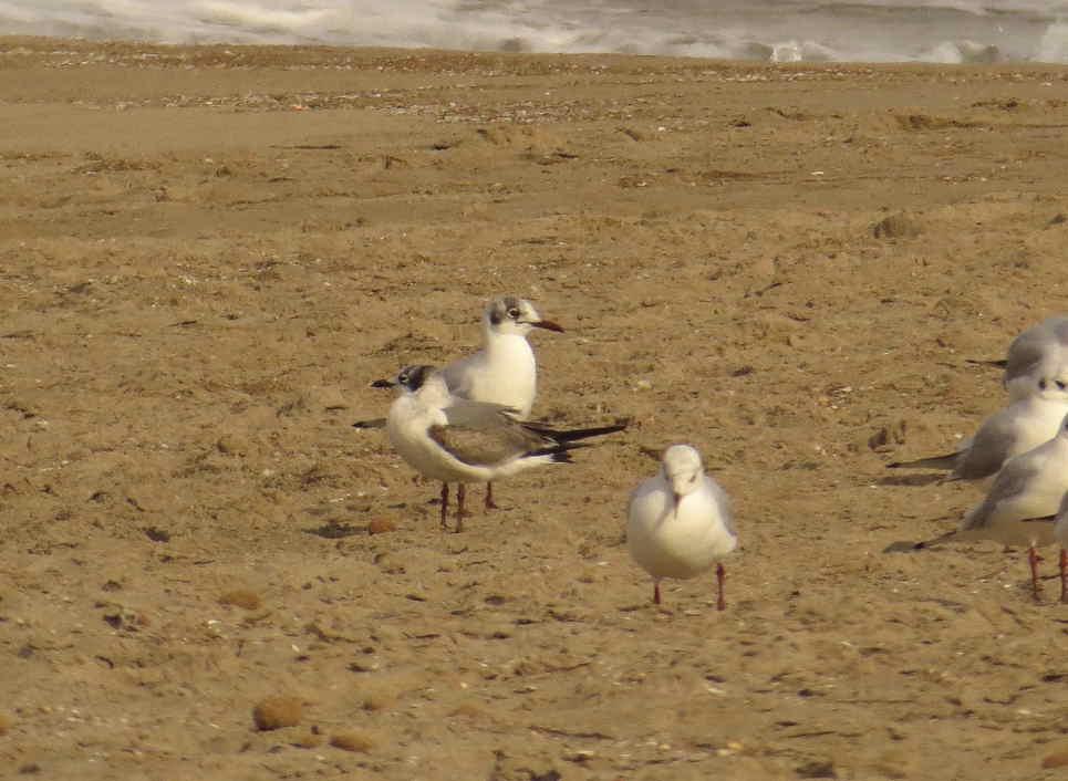 Gaviota de Franklin con reidoras en la playa del Campello (J. Ramos)