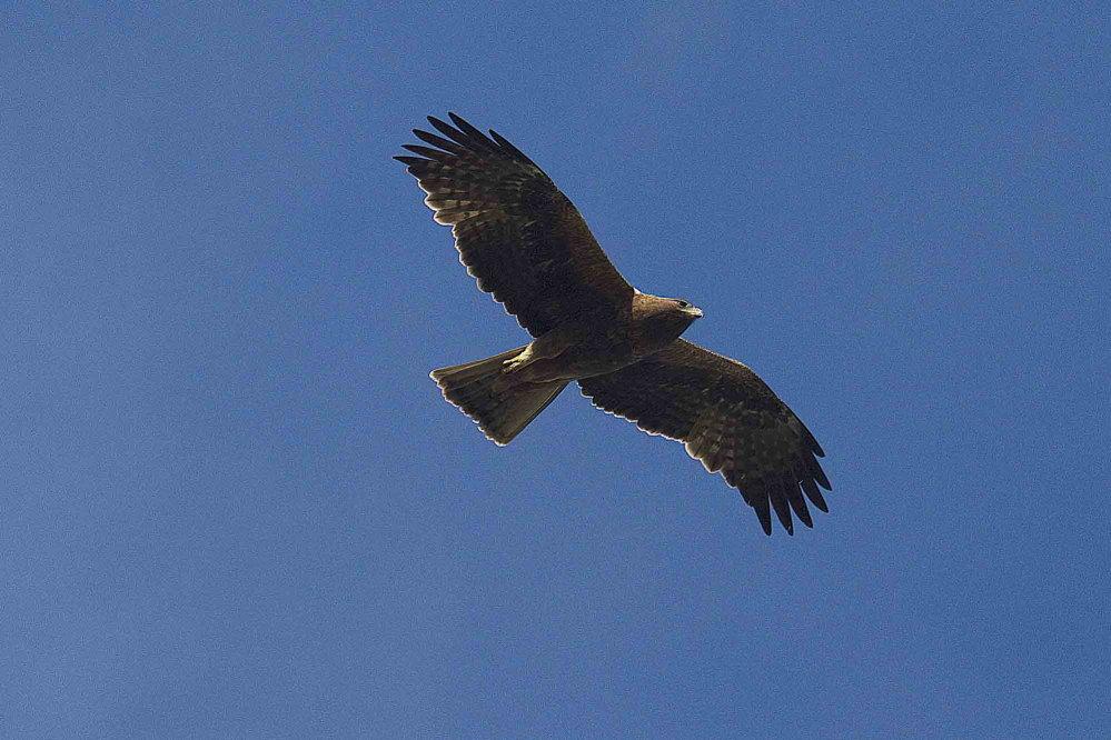 Águila calzada en Los Carrizales (S. Arroyo)