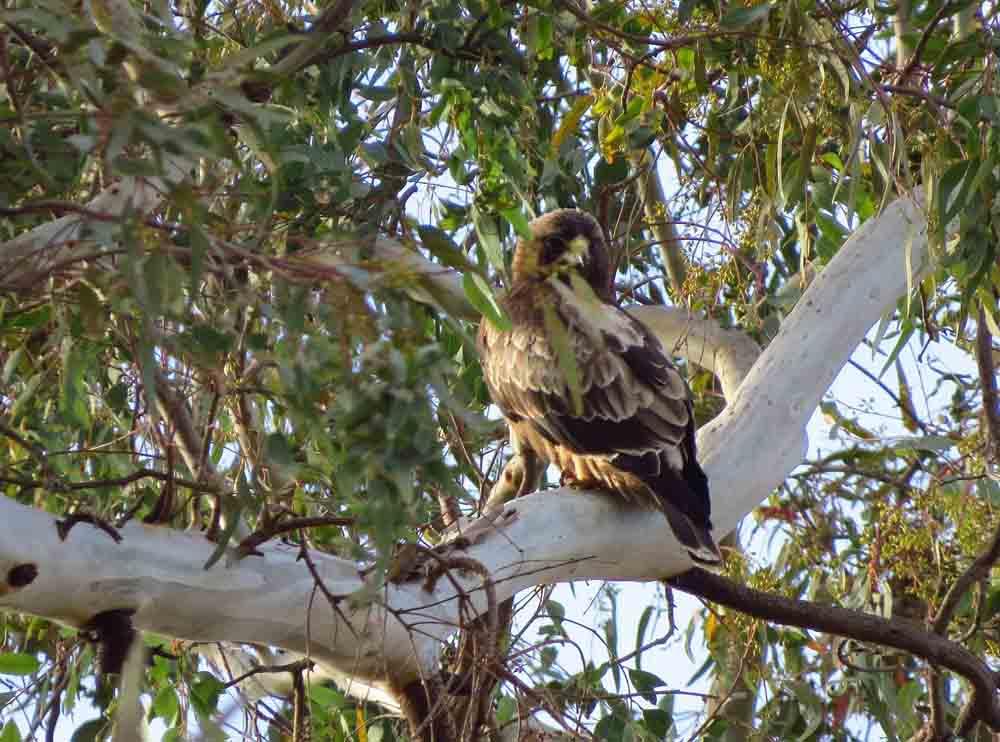 Águila calzada en El Hondo (J. Marco)