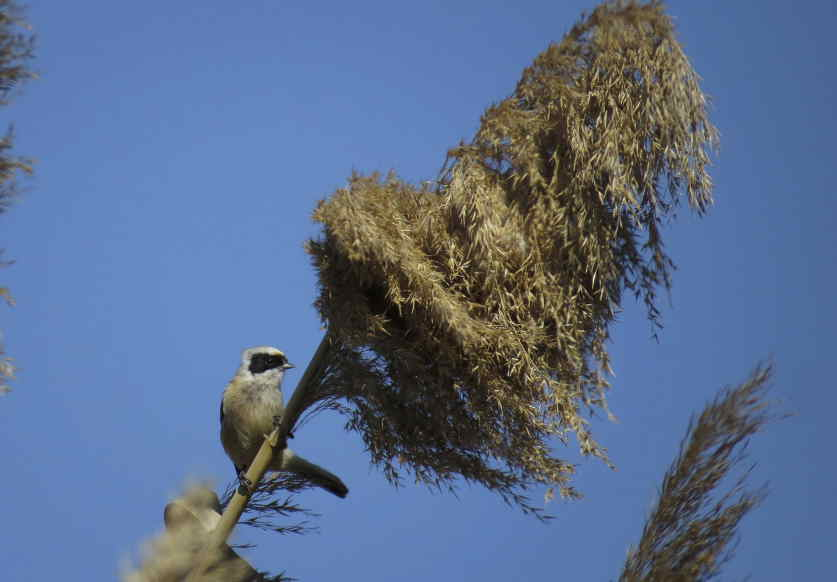 Pájaro moscón en El Hondo (J. Ramos)