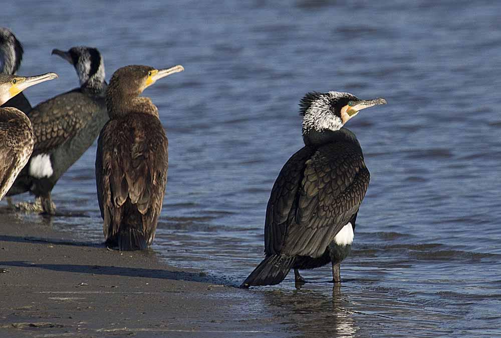 Cormoranes grandes en la desembocadura del Segura (S. Arroyo)