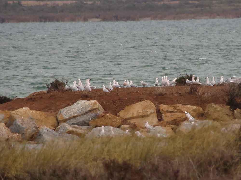 Gaviotas picofinas en la laguna de La Mata (S. Arroyo)