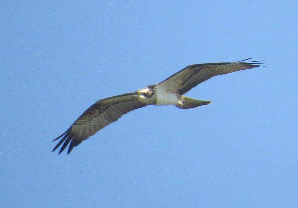 Águila pescadora en El Hondo (O. Aldeguer)