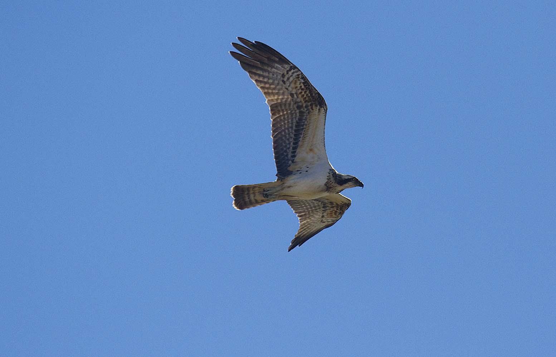 Águila pescadora en El Hondo (S. Arroyo)