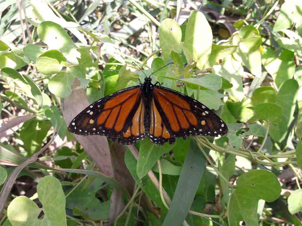 La monarca posada sobre una Cynanchum acutum planta nutricia de la D. chrysippus (J. Marco)