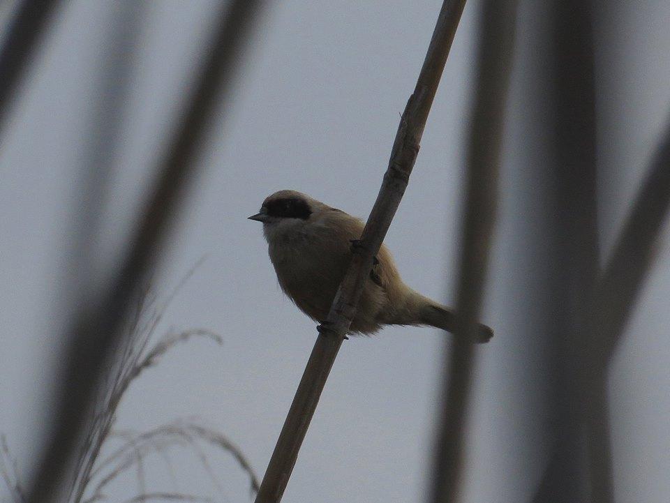 Pájaro moscón en el Clot de Galvany (J. Ramos)