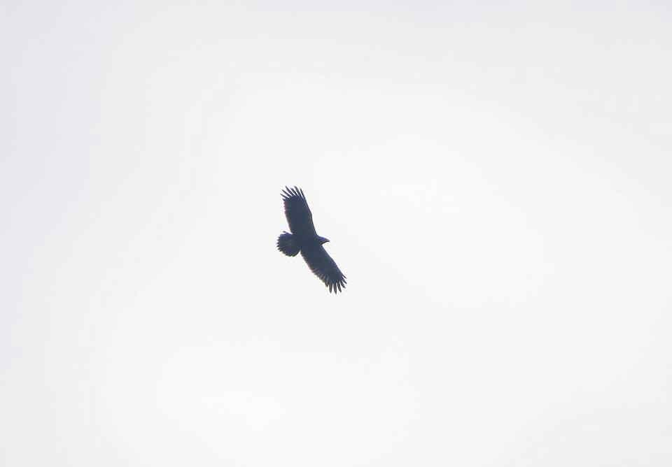 Águila moteada en El Hondo (J. Marco)