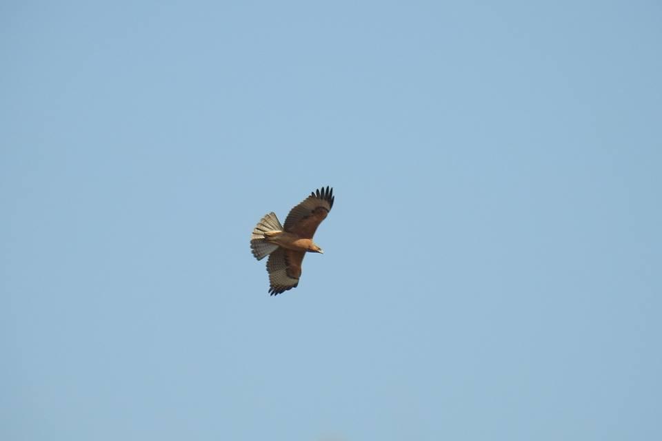 Águila perdicera en El Hondo (I. Arnaldos)