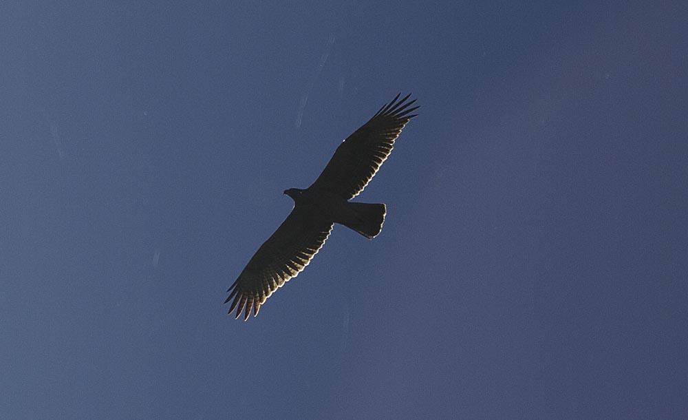 Águila perdicera en Los Carrizales (S. Arroyo)