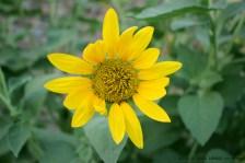 Sunflower A