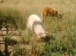 Sheep grazing at a local farm.