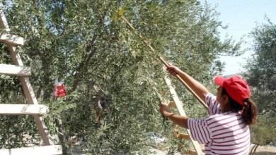 صورة بلدية حاصبيا تقضم حقوق العاملات في قطاف الزيتون ورئيسها يوضح