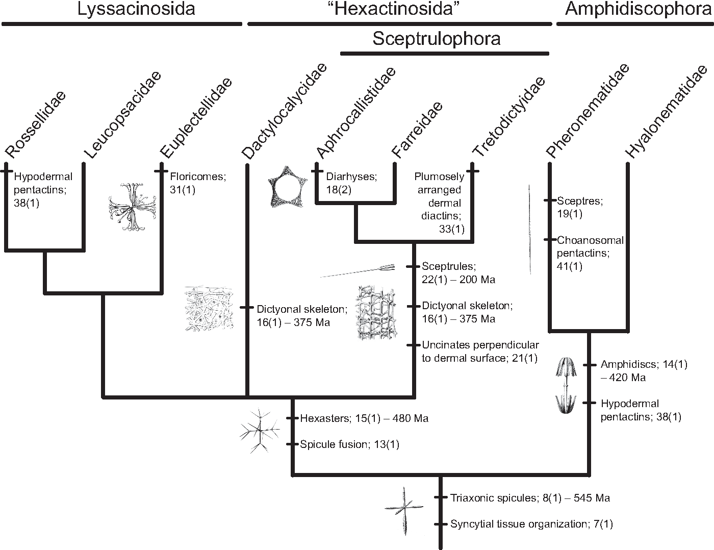 Figure 4 From Phylogeny And Evolution Of Glass Sponges