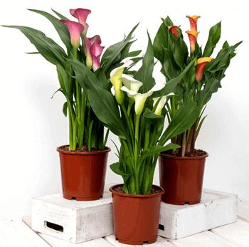 母の日の花 鉢植え